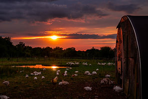 Copy of sunset chickens