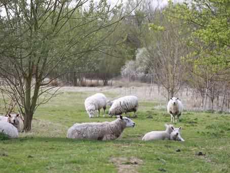Sheep Care and Medication