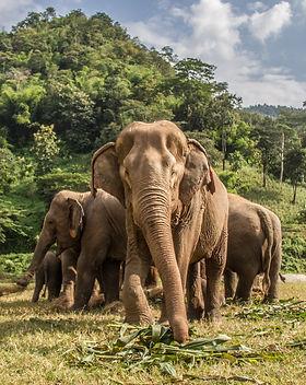 Elephants in Chiang Mai. Elephant Nature