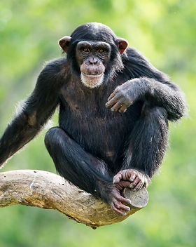 Frontal Portrait of a Young Chimpanzee R