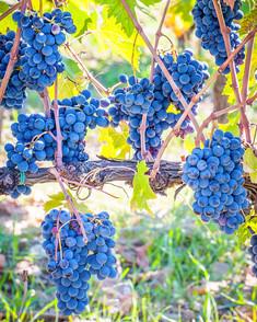 Fruit of the Vine.jpg