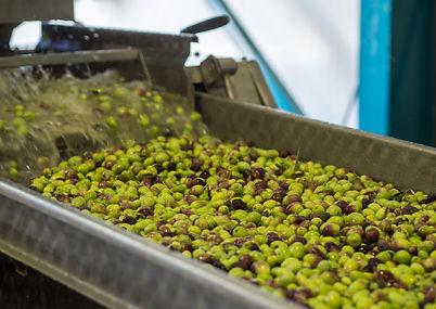 Washing-Olives-01.jpg