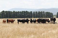 cattle at trough.jpg