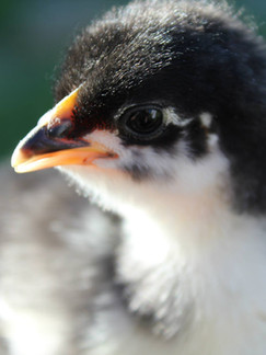 Australorp chick.jpg