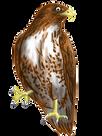 Free Hawk Clip Art