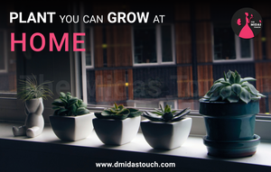 Plant that you can grow at home - D Midas Touch - 2020