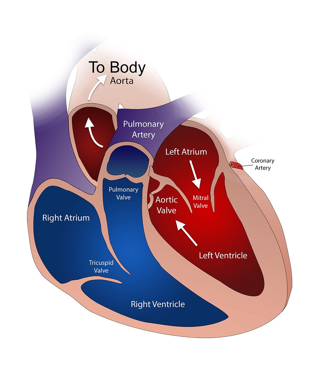 Heart Physiology