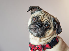 Pet portrait, pet, dog, cat, pet photography