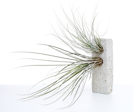 Rectangular Airplant Sconce (with 2 airplants)