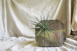 Airplant and reclaimed wood