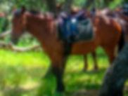 """img src=""""corsu.jpg"""" alt=""""fiordilezza cheval race corse paganacce horse cavallu corsu"""""""