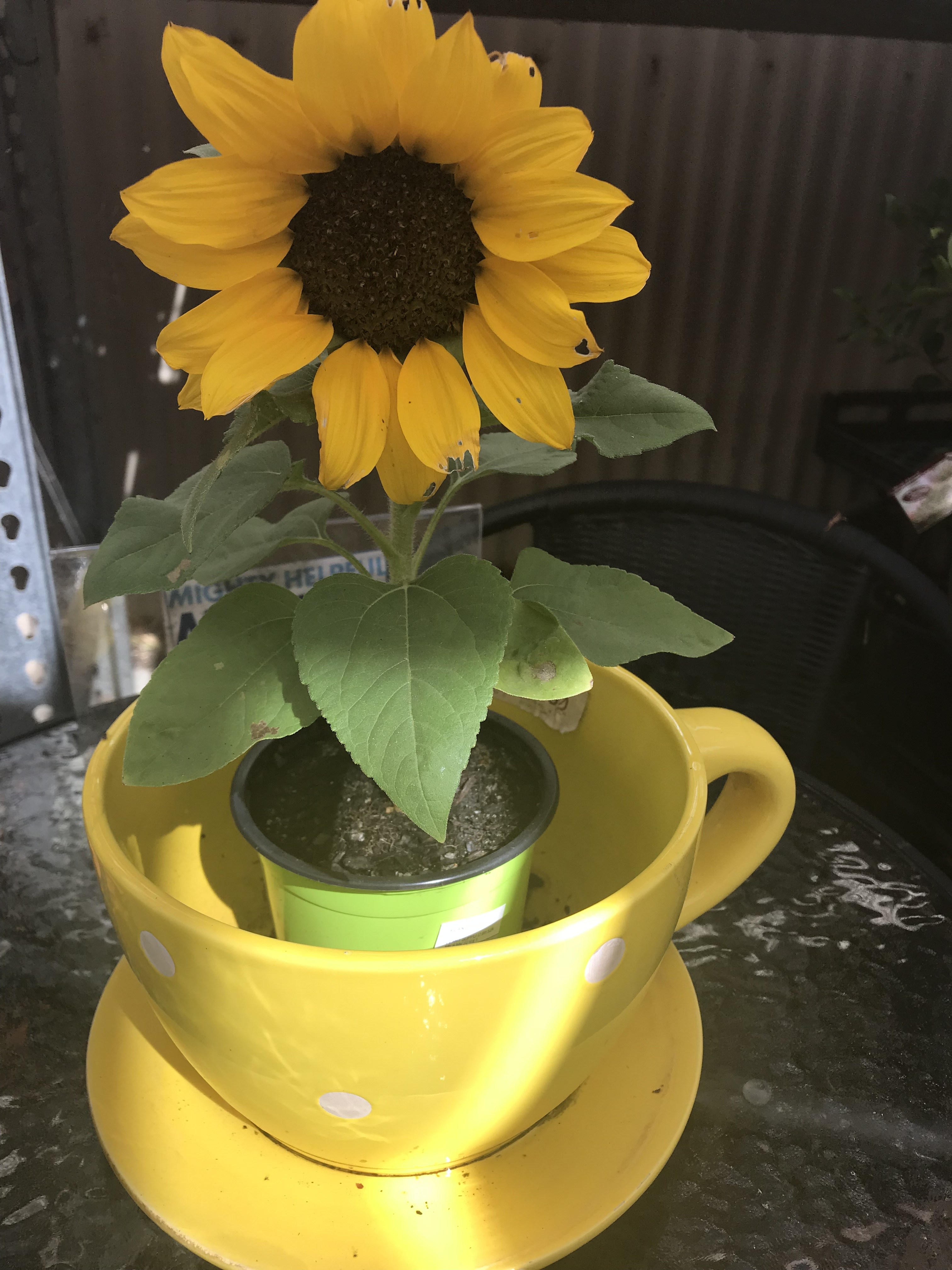 Sunflower in yellow pot