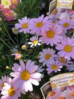 federation daisy