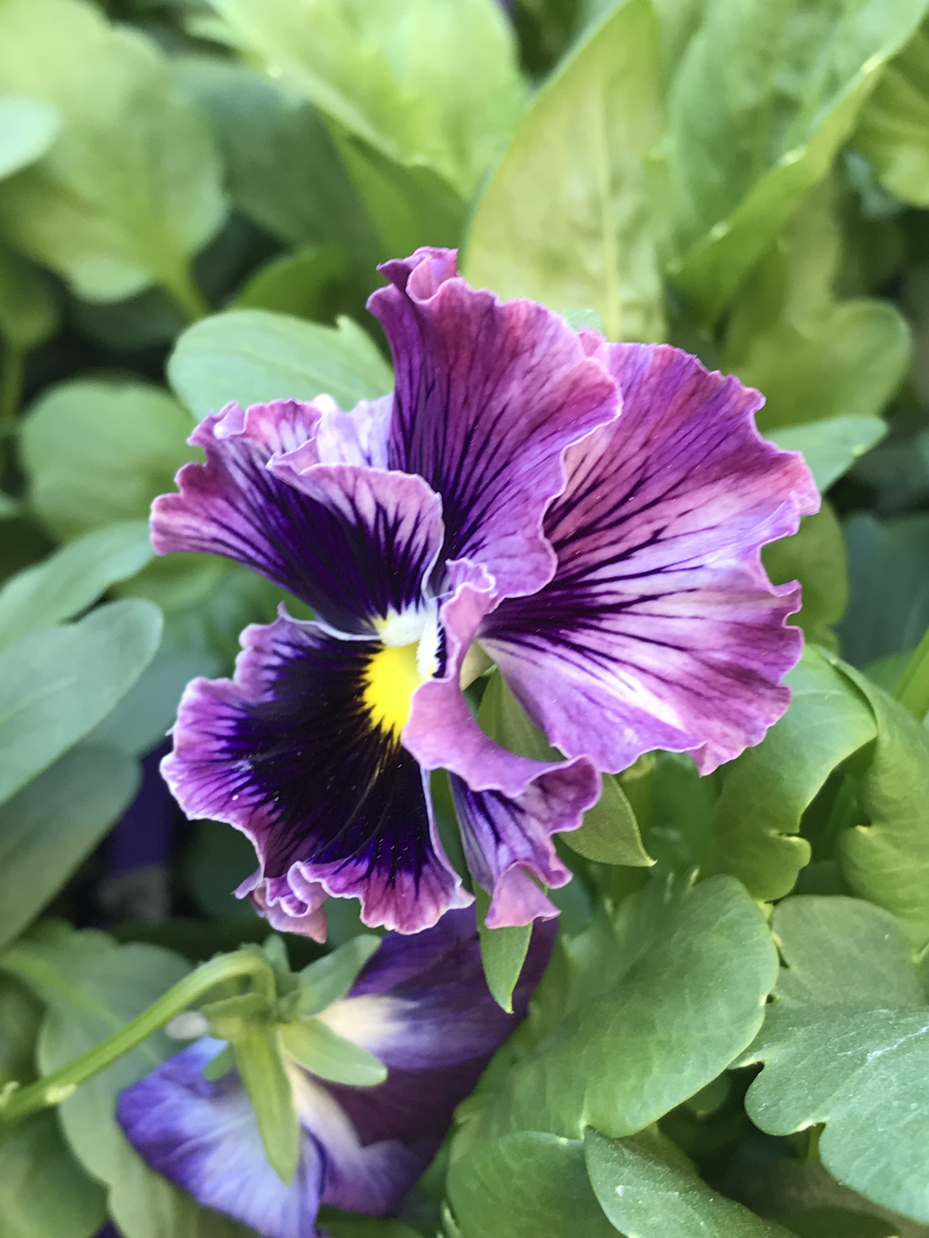 pansy 1
