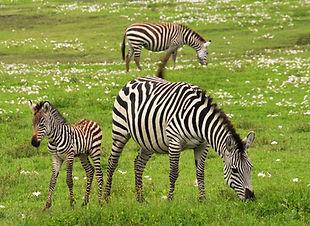serengeti baby-zebra-75885.jpg