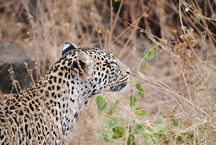 leopard-tsavo.jpg