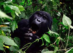 gorilla-355178.jpg
