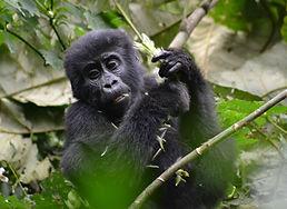gorilla-3928904.jpg