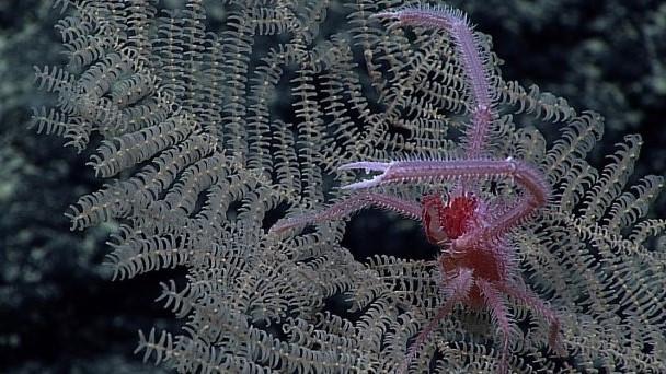 Novas espécies de corais são valorizadas pelo potencial econômico