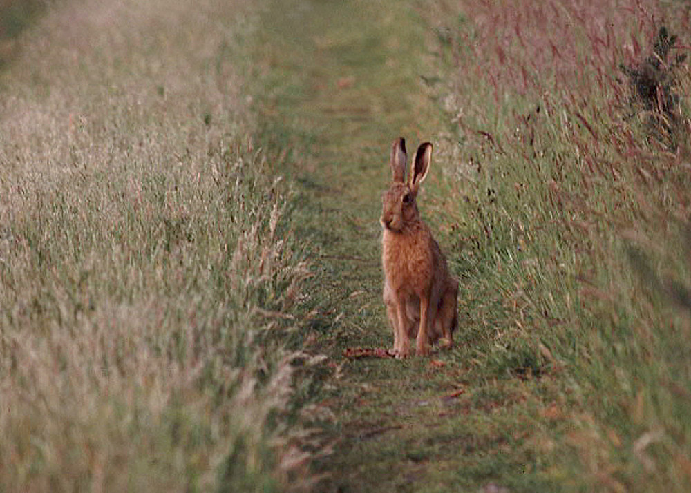 The Easter bunny: not a rabbit, but a hare
