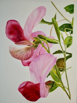 Sweet Pea Flowers - Watercolor