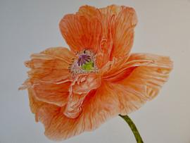 Poppy - Watercolor