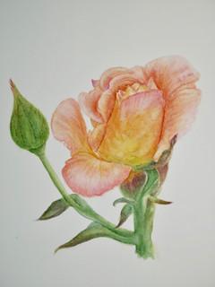Rose - Watercolor