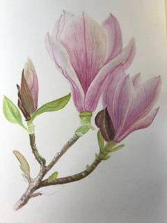 Magnolia - Watercolor