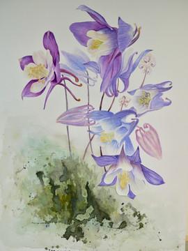 Aquilegia Flowers - Watercolor