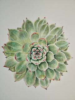 Succulent - Watercolor