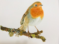 Robin - Watercolor