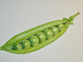 Pea - Watercolor