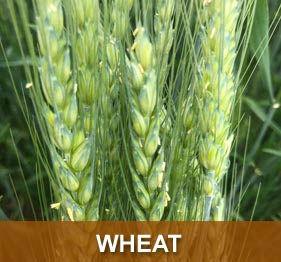 prod-wheat.jpg
