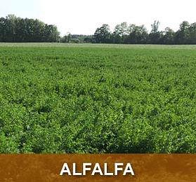 prod-alfalfa.jpg