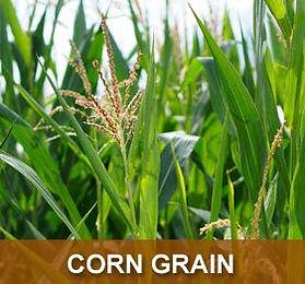 prod-corn-grain.jpg