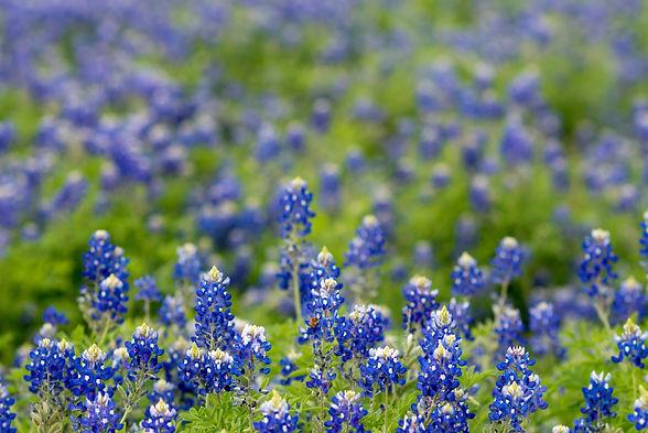 field-of-texas-bluebonnet-998065.jpg