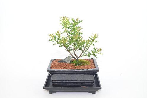 Okinawa Holly