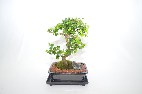 Ligustrum ( Chinese Privet gallon plant) 12 years old, S trunk style