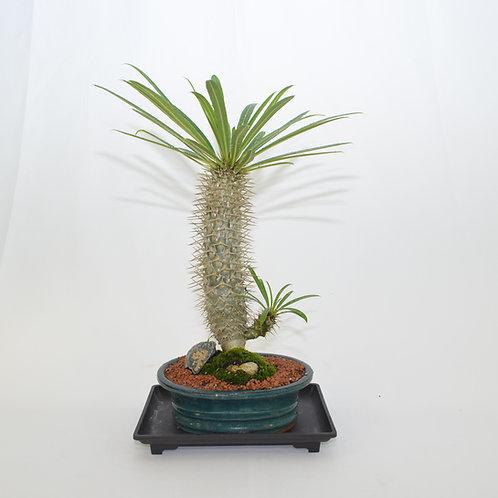 Madagascar Palm, Indoor Bonsai, 9 years old