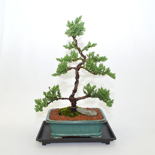 Japanese Juniper - Upright