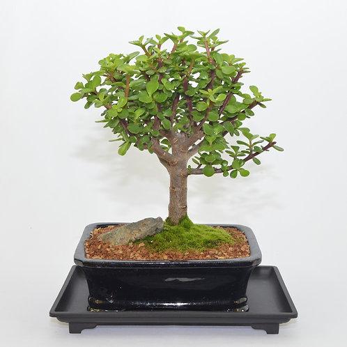 Mini Jade