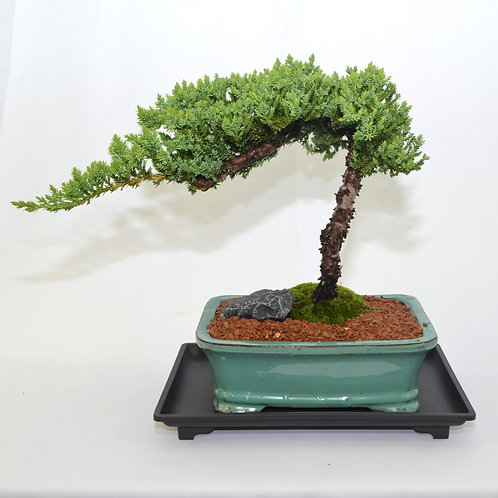 Japanese Juniper - Windswept