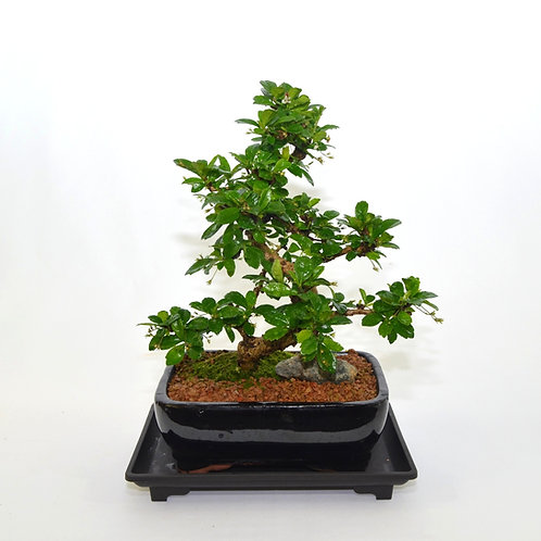 Fukien Tea