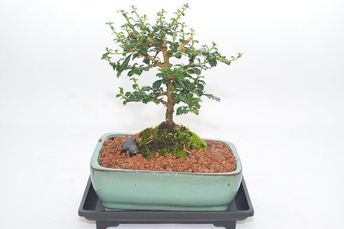 Fukien tea, Indoor bonsai, white flowers, 4 years old