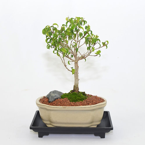 "Ficus ""Too Little"""