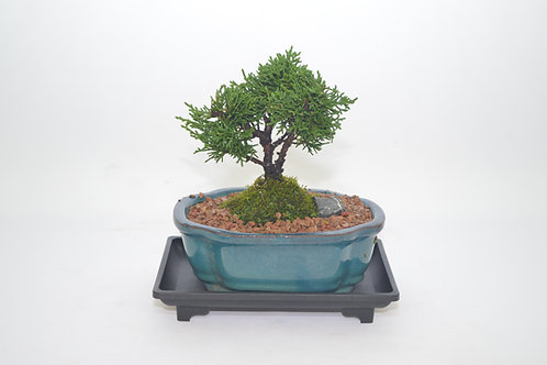 Shimpaku Juniper ( Chinese Juniper ) broom style, 4 years old