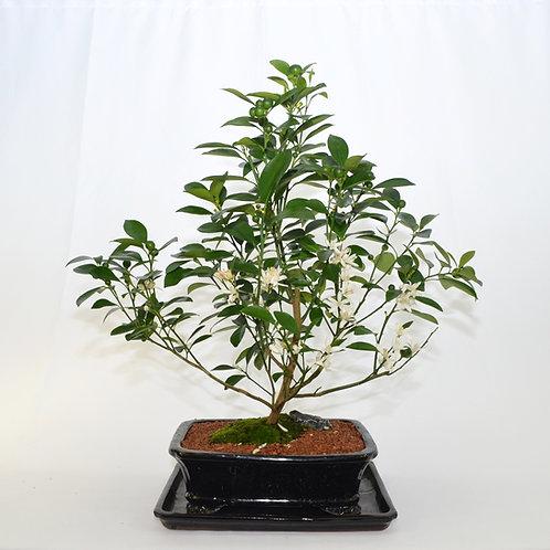Calamondin (Mini Orange)