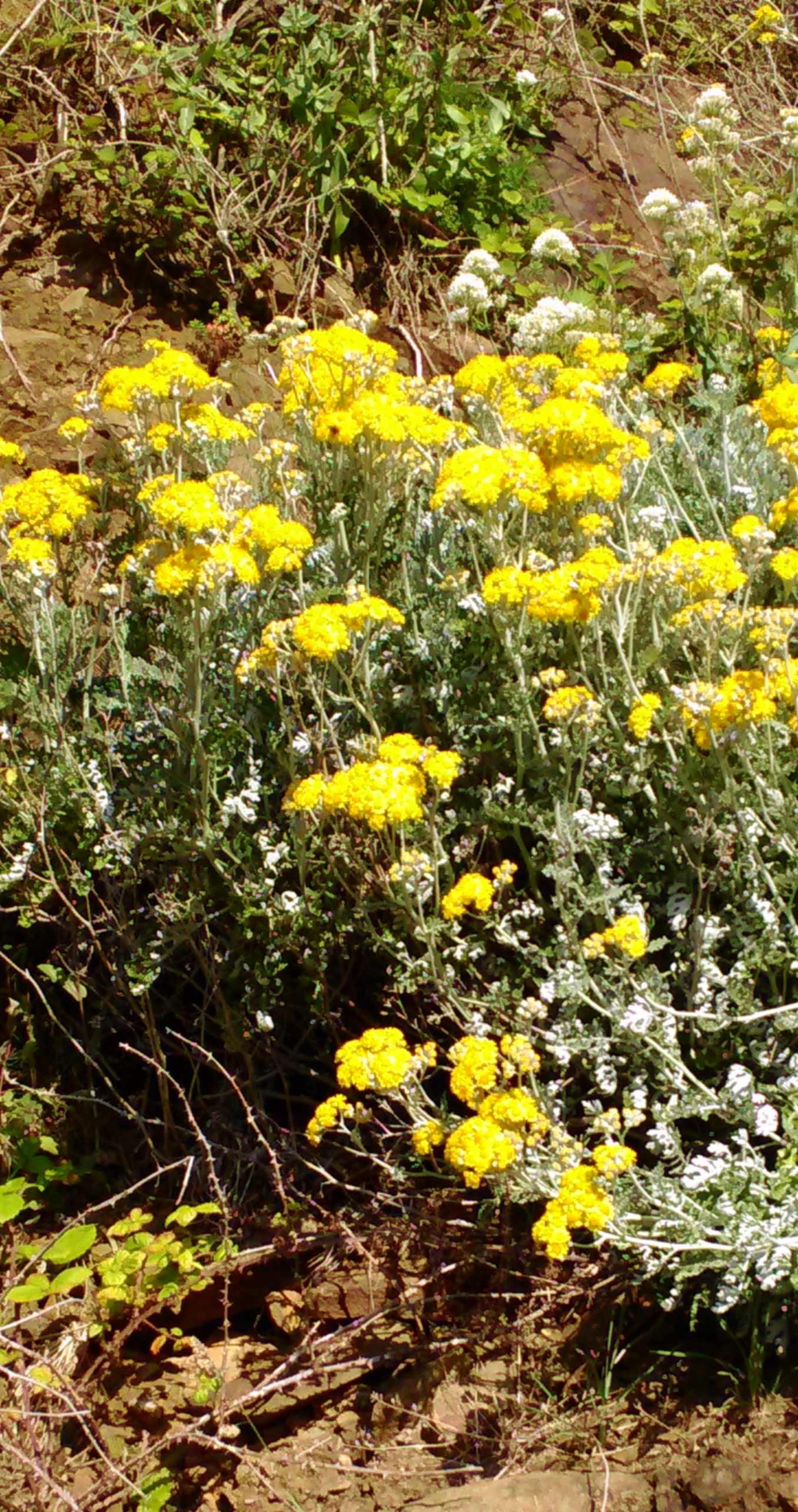 Fleur de falaise