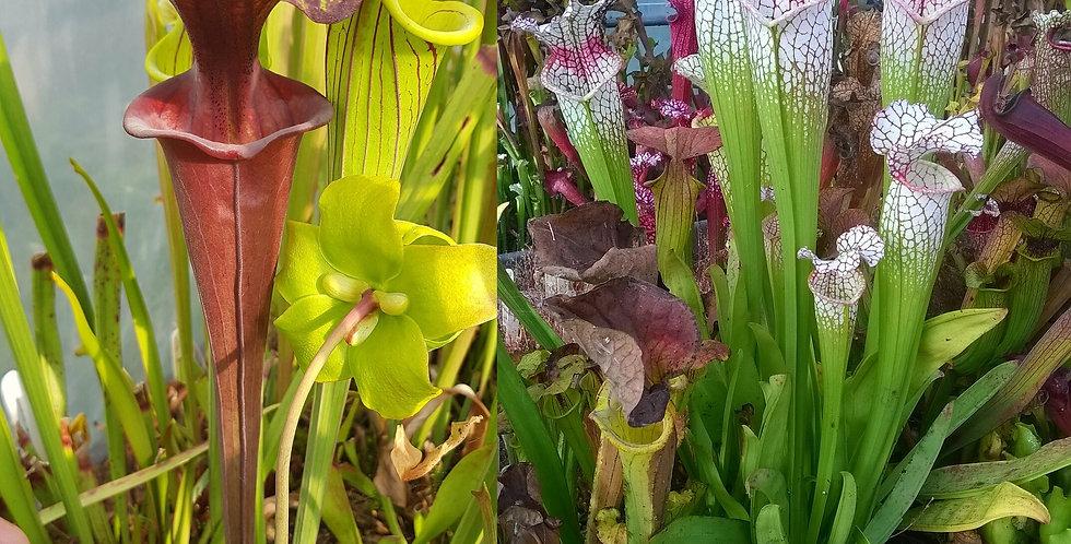 138) Pack of Sarracenia seeds 2019/2020, carnivorous plants rare