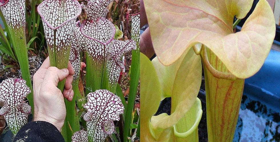 16) Pack of Sarracenia seeds 2020/2021